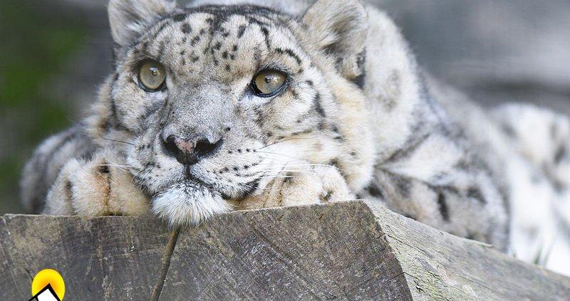 Panthera_uncia_Shynghyz_Tama_Zoo_2015-09-20