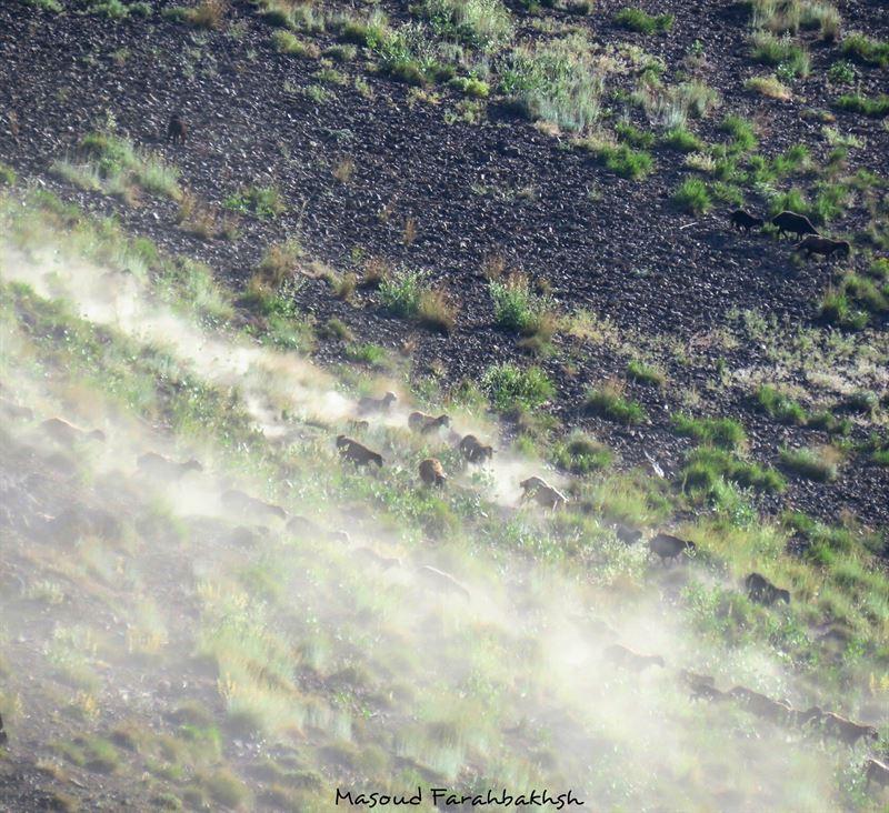 عکس از مسعود فرح بخش ، روش منسوخ دامداری سنتی و تخریب های آن