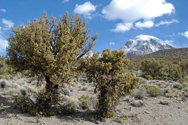 درختان در کوه نوادو ساخاما که تا ارتفاع 5200 متری می رویند