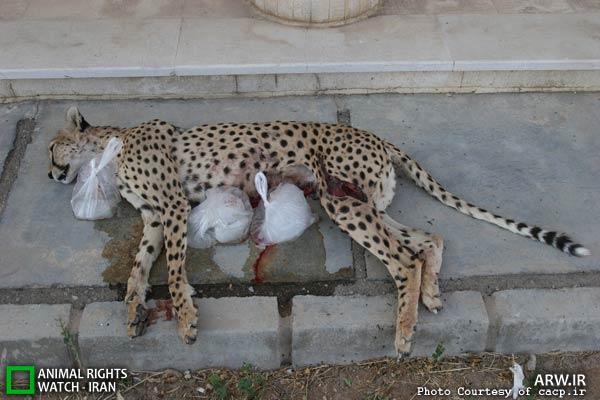 یوزپلنگ ماده ای که در سال 91 توسط سگ های گله کشته شد